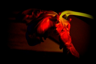 TULIPAN NEGRO 3 by Lis Roger | unikaramme