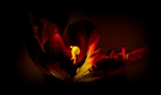 TULIPAN NEGRO 2 by Lis Roger | unikaramme